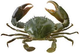 Verse / Levende Crab